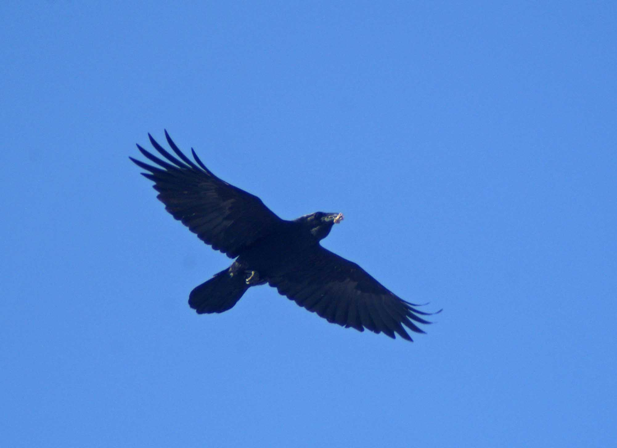 Evil crow flying crow bird flying viewing